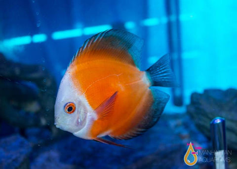 Red Melon Discus 4""