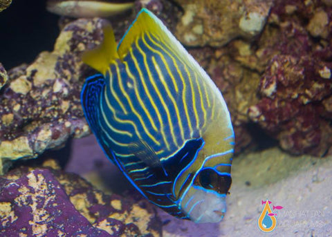 Emperor Angelfish, Large