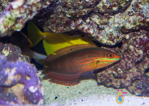Christmas Wrasse