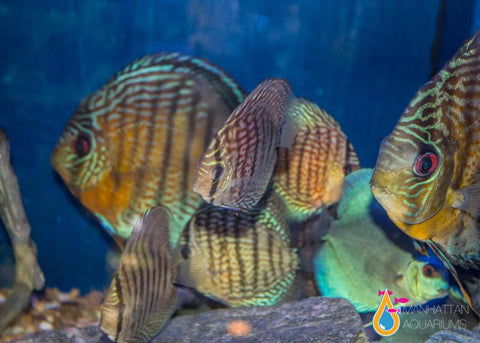 Wild Discus Fish XL