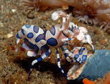 Harlequin Shrimp, Small