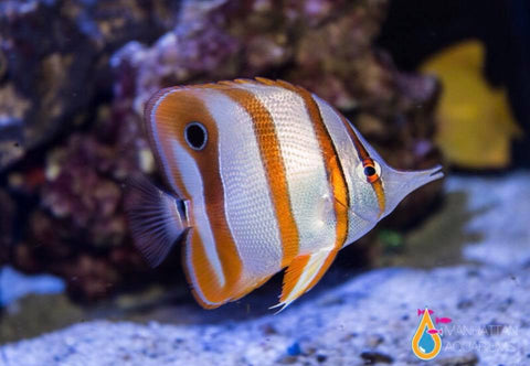 Copperband Butterflyfish, Medium/Large