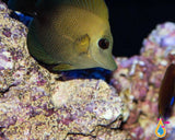 Scopas Tang, Small