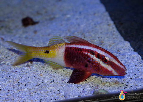 Bicolor Goatfish, Medium