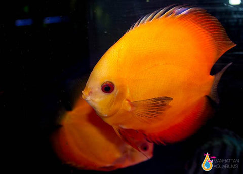 Gold Discus Fish 4""