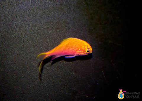 Sunburst Anthias, Small/Medium