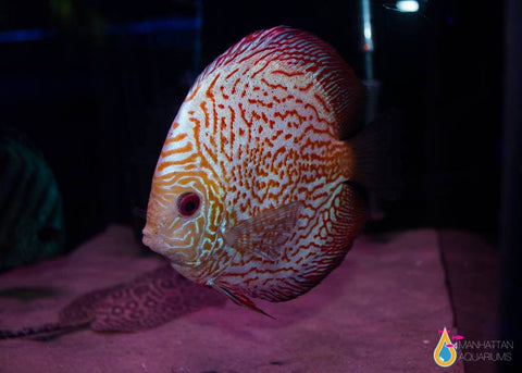 Pigeon Blood Discus Fish 4""