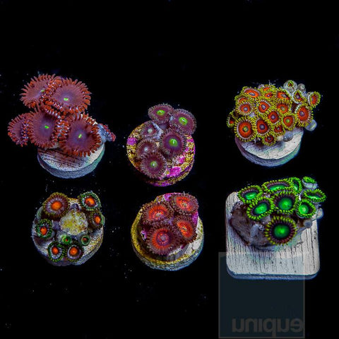"6 Piece Beginner's"" Zoa/Paly Frag Pack - 6 Different Stock Frags!"