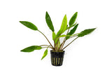 Cryptocoryne sp. Mix 15pc Pack