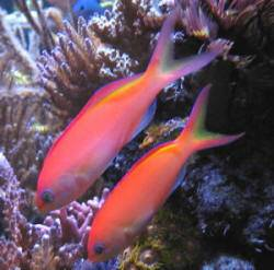 Ignitus Anthias Female