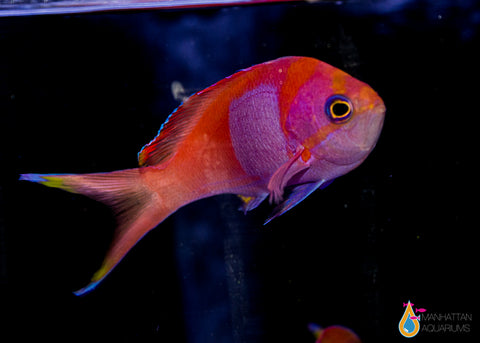 Square Anthias, Male