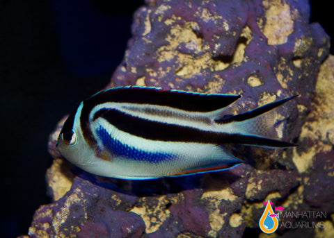 Bellus Angelfish, Male