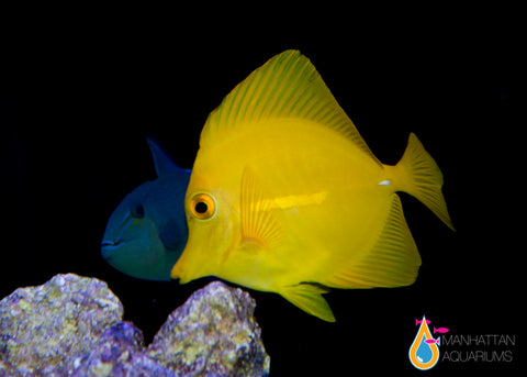 Yellow Tang, Large