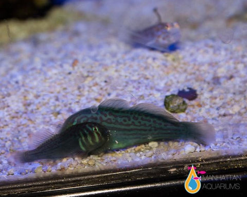 Green War Paint Clown Goby