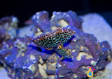 Leopard Wrasse, Small/Medium