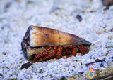 Electric Orange Leg Hermit Crab