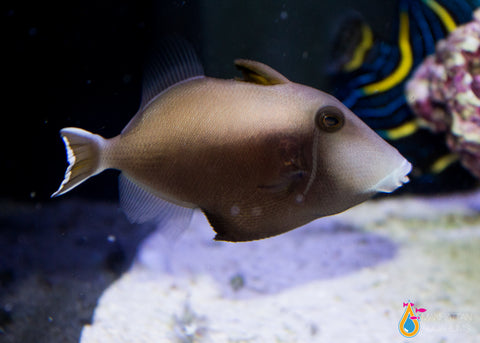White Tail Triggerfish