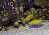Yellow Coris Wrasse