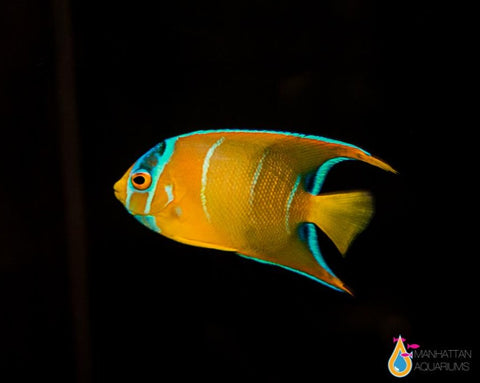 Queen Angelfish juv.