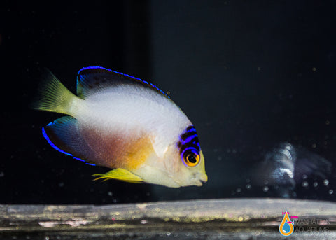 Multicolor Angelfish