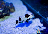 Black Storm Clownfish