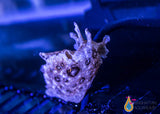 Sea Hare, Small