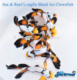 Longfin Black Ice Clownfish Pair