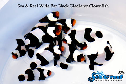 wide bar black gladiator ocellaris clownfish manhattan aquariums