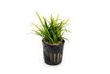 Sagittaria Subulata Potted
