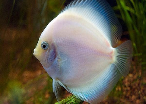 Snow White Discus Fish 4""