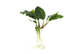 Anubias sp. Mix Pack 10pc