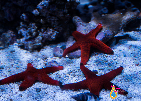 Black Tip Fromia Starfish