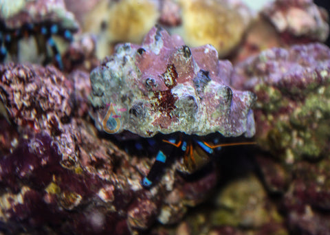 Electric Blue Leg Hermit Crab
