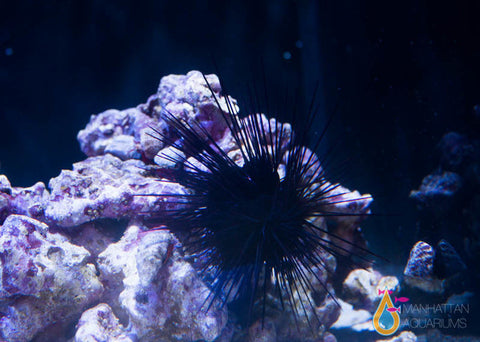 Long Spine Urchin