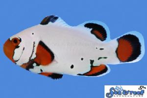 Frostbite Clownfish