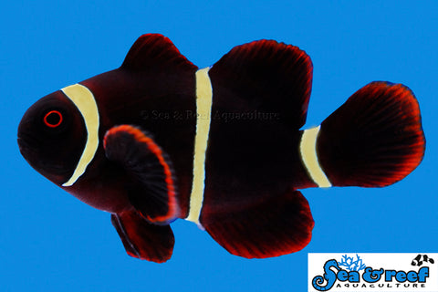 Gold Stripe Maroon Clownfish