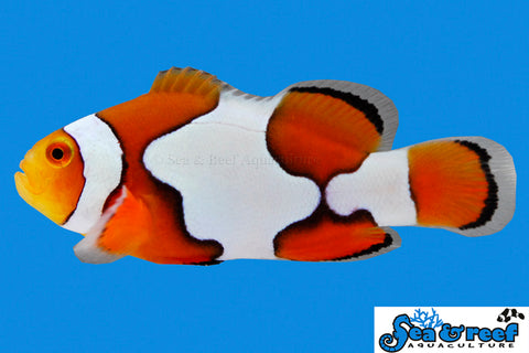 Picasso Misbar Clownfish
