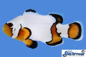 Premium Black Ice Clownfish