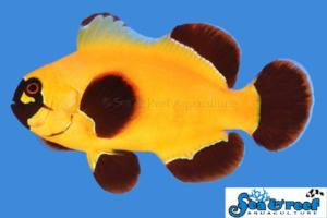 Gold Nugget Maroon Clownfish