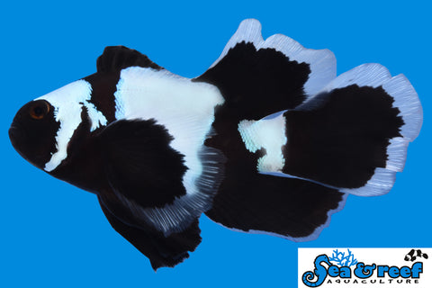 Longfin Phantom Clownfish pair