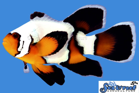 Longfin Premium Black Ice Clownfish Pair
