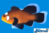 Longfin Domino Clownfish Pair