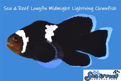 Midnight Lightning Longfin Pair