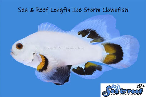 Longfin Ice Storm Clownfish Pair