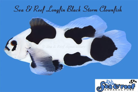 Longfin Black Storm Clownfish Pair
