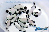 Ultra Phantom Clownfish Pair