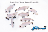 Snow Storm Clownfish pair
