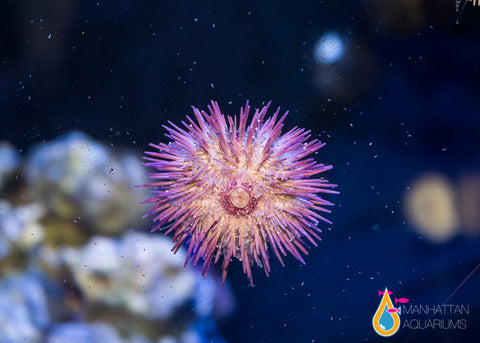 White Pincushion Urchin