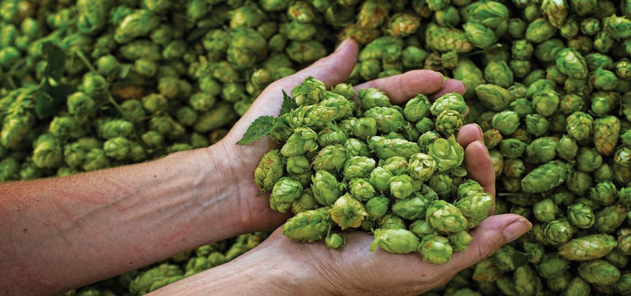 Hops | 1st Republic Homebrew | Vermont Homebrew