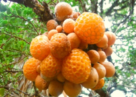 Hunting for Bush Tucker - Wild Myrtle Oranges
